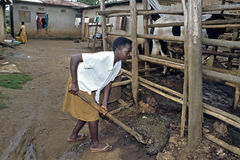 Ugandan Girl makes a cowshed clean. Uganda, Mazaka district, village Mazaka: on this farm is a stable for one cow built. This family has the animal fot the milk Royalty Free Stock Photography