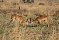 Ugandan Kob Antelope Facing Off Stock Image