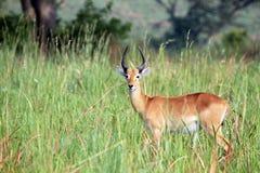 Ugandan Kob. (Kobus kob thomasi) in High Grass. Ishasha, Queen Elisabeth, Uganda Stock Photography