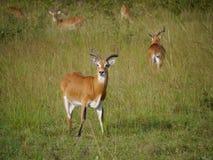 Ugandan Kob. Seen on safari in Murchison Falls National Park Uganda, Africa Royalty Free Stock Images