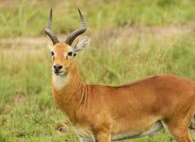 Ugandan Kob in the Veldt. Ugandan Kob in Queen Elizabeth National Park in Uganda Royalty Free Stock Photo