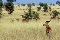Ugandan Kobs Royalty-vrije Stock Afbeelding