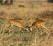 Ugandan Kobs Sparring. Ugandan Kob antelope males fighting for dominance at Murchison Falls National Park in Uganda Stock Image