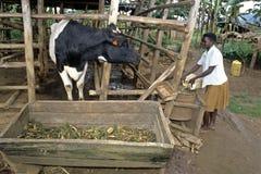 Ugandan-Mädchen gibt Kuh, um zu essen und zu trinken stockfotografie
