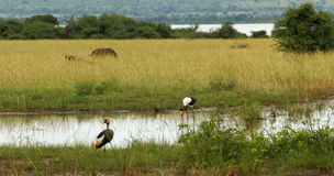 Ugandan Safari Animals in their Habitat. A group of animals on a Ugandan plain.  They include a Grey Crowned Crane, a Saddle Billed Stork, a duck, Cape Buffalo Stock Photography