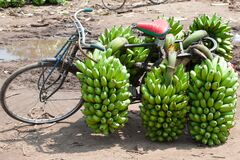 Fright bike loaded with plantains. Cooking bananas are heavy load on bike in Uganda.