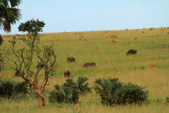 Ugandan Wildlife Grazing on a Hill side. A large group of different animals grazing for food on a hill in Murchison Falls National Park, Uganda Stock Images