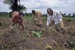 UgandanLandarbeiter bei der Arbeit über Ackerland Stockfotos