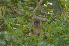 Ugandisk röd Colobus i djungeln Arkivfoton