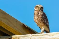 Uggla fågel Royaltyfria Bilder