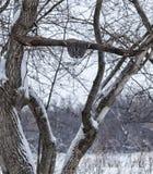 Uggla för stora grå färger arkivfoto