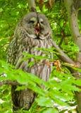 Uggla för stora grå färger som gäspar sammanträde i ett träd Arkivfoton