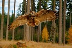 Uggla i skoglivsmiljön, bred vinkellins FlygEurasian Eagle Owl med öppna vingar i trät, Ryssland Ugglaflyg med öppna vingar royaltyfria bilder