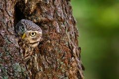 Uggla i trädredehålet Liten uggla, Athenenoctua, i redehålet, skog i Centraleuropa, stående av den lilla fågeln i naen fotografering för bildbyråer