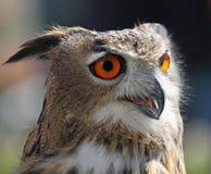 UGGLA med fluffiga fjädrar och enorma orange ögon Royaltyfria Foton