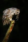 Uggla med musen i räkning Uggla i mörk natt Tawny Owl med låsdjuret fågel i naturlivsmiljön Royaltyfri Fotografi