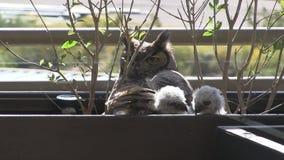 Uggla och uggleungar på balkong i Arizona arkivfilmer