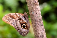Ugglafjäril som är hållande på till ett träd Arkivbild
