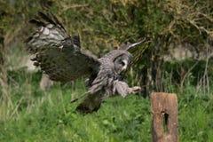 Ugglaflyg för stora grå färger Royaltyfria Bilder