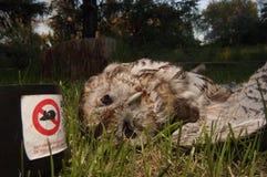 Ugglan som förbi förgiftas, tjaller gift Gulbrun uggla, Strixaluco arkivbild
