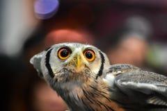 Ugglastående Owl Eyes Arkivfoton