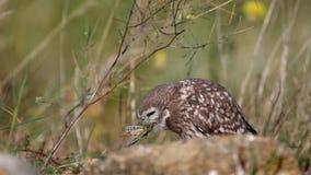 Ugglor Den unga Athenenoctuaen för små ugglor dolde bak en sten och äter gräshoppor stock video