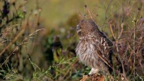 Ugglor Den unga Athenenoctuaen för små ugglor sitter på en sten i gräset och gör ren dess fjädrar lager videofilmer