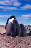 The Ugle Penguin. Adelie penguin chicks with their down coats about to molt into beautiful adult penguins Royalty Free Stock Photos