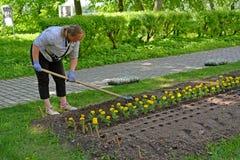 Uglic, Russia Il coltivatore del fiore allenta il soi l per la piantatura della piantina del fiore nel quadrato di città fotografia stock