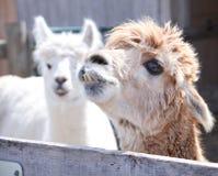 Ugly Alpaca Stock Photography