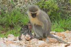 Ugly baby. Vervet Monkey mother and bayb Stock Images