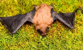 Ugly bat. Dummy of wild bat on grass. Wild nature. Forelimbs adapted as wings. Mammals naturally capable of true and. Sustained flight. Bat emit ultrasonic royalty free stock images