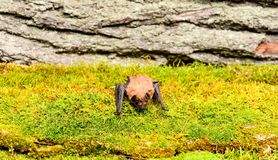 Ugly bat. Forelimbs adapted as wings. Museum of nature. Mammals naturally capable of true and sustained flight. Eyes bat. Species small poorly developed. Bat royalty free stock image
