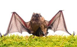 Ugly bat. Wild nature. Forelimbs adapted as wings. Mammals naturally capable of true and sustained flight. Bat emit. Ultrasonic sound to produce echo. Bat stock images
