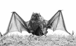 Ugly bat. Wild nature. Forelimbs adapted as wings. Mammals naturally capable of true and sustained flight. Bat emit. Ultrasonic sound to produce echo. Bat stock image