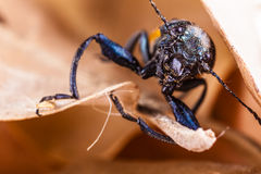 Ugly beetle Royalty Free Stock Images