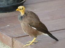 Ugly Bird. Manky looking old mynah bird with bald head and cataracts royalty free stock images
