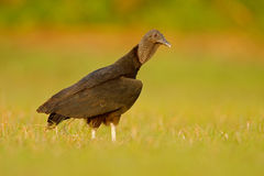 Ugly black bird Black Vulture, Coragyps atratus, sitting in the green grass, Pantanal, Brazil. Wildlife Stock Photography