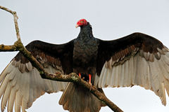 Ugly black bird Turkey vulture, Cathartes aura, sitting on the tree, Costa Rica. Bird with open wing. Royalty Free Stock Image