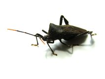 Ugly Bug. Assassin Bug Stock Photos