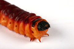 Ugly caterpillar. Crawling in a studio. closeup Royalty Free Stock Images