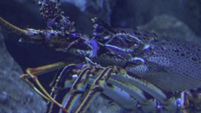 An ugly crustacean undersea stock video footage
