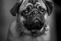 Ugly dog Royalty Free Stock Photos