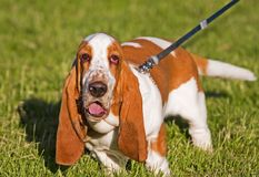Ugly Dog. Basset Hound with saggy eyes Royalty Free Stock Photos