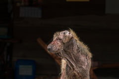Ugly dog. Ugly stray dog with skin desease,social problem royalty free stock images