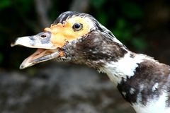 Ugly Duck Royalty Free Stock Photo