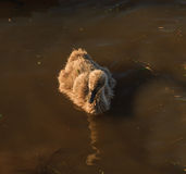Ugly duck, swan chick Stock Photography