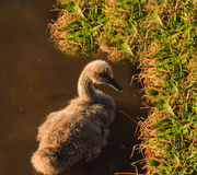 Ugly duck, swan chick Stock Photos