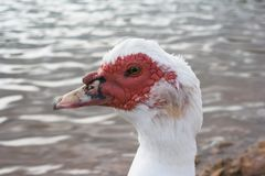 Ugly ducking. Close up of an ugly duck royalty free stock photo