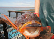Ugly Fish Royalty Free Stock Photography